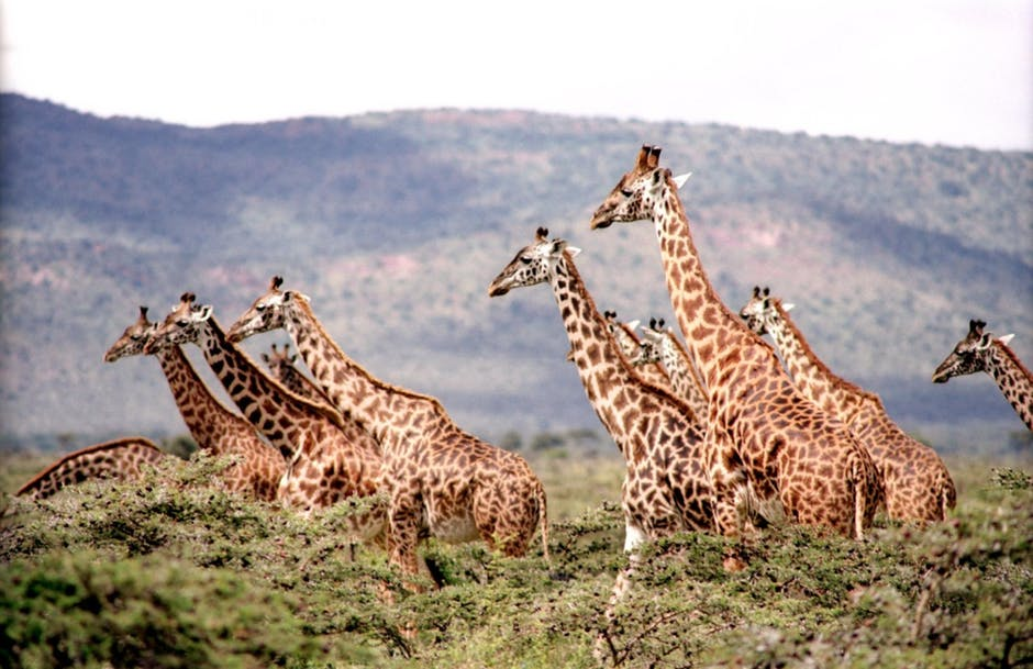 An image of giraffes