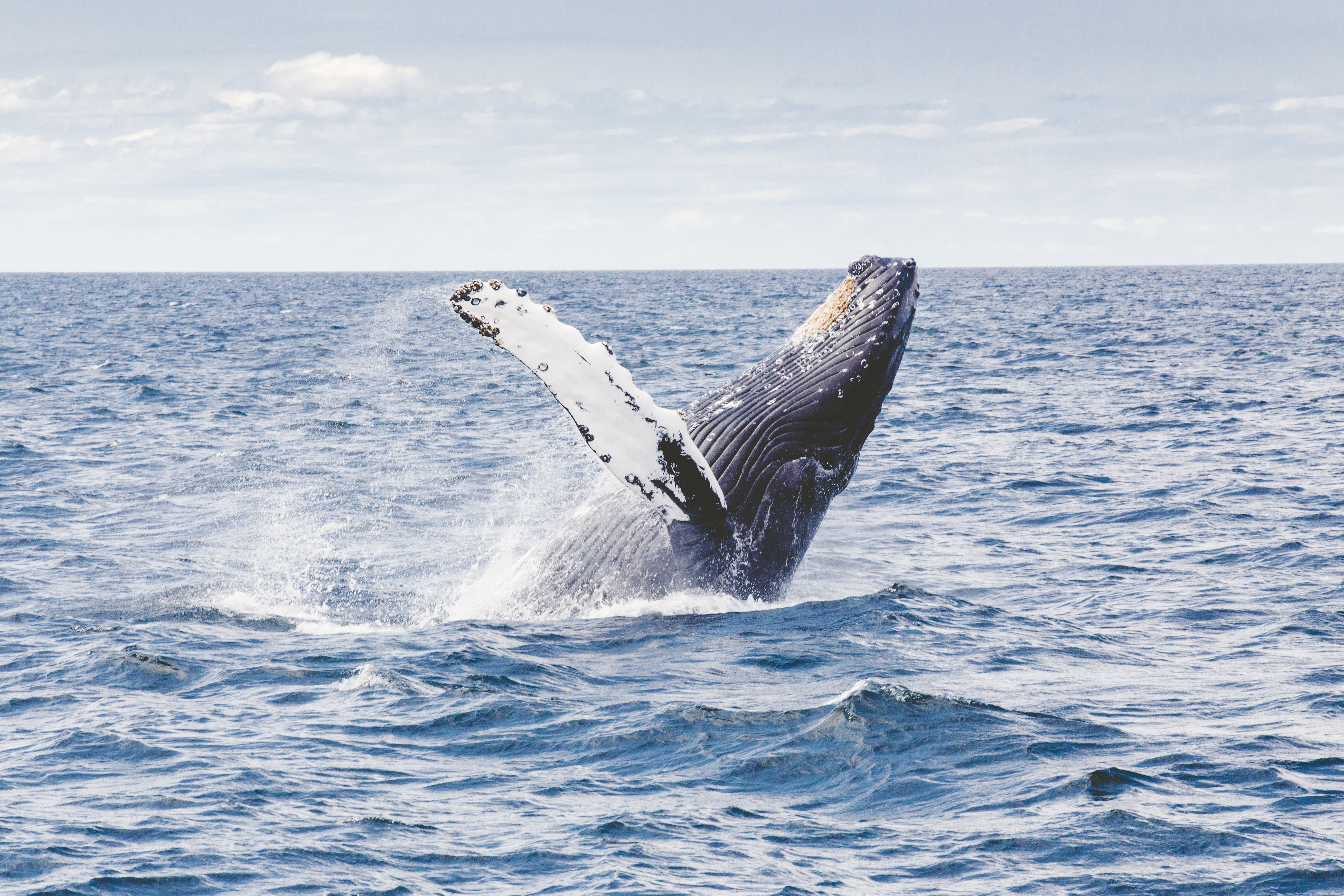 Image of a Gray Whale