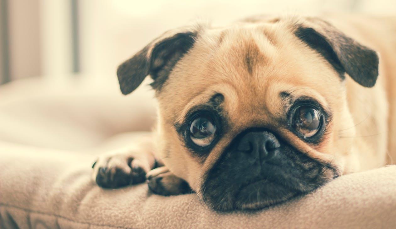 Photo of a pug dog