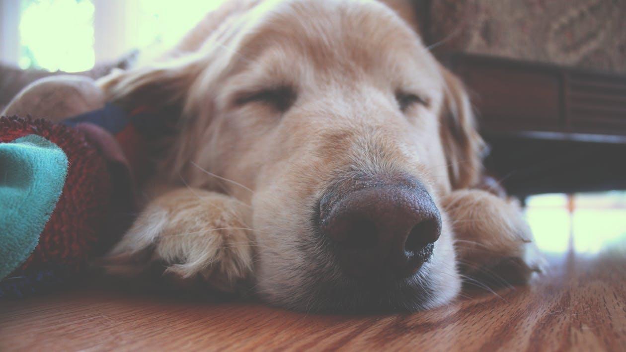 Photo of a sleeping Golden Retriever