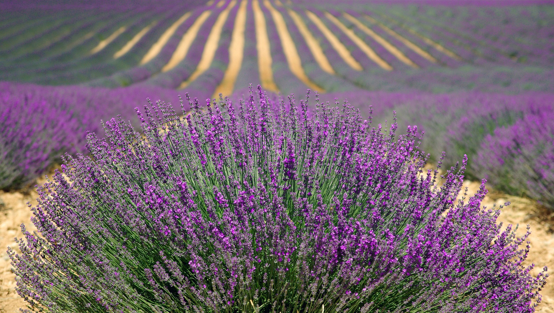 Image of a lavender field in France