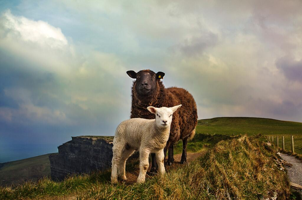 Image of sheep in Ireland