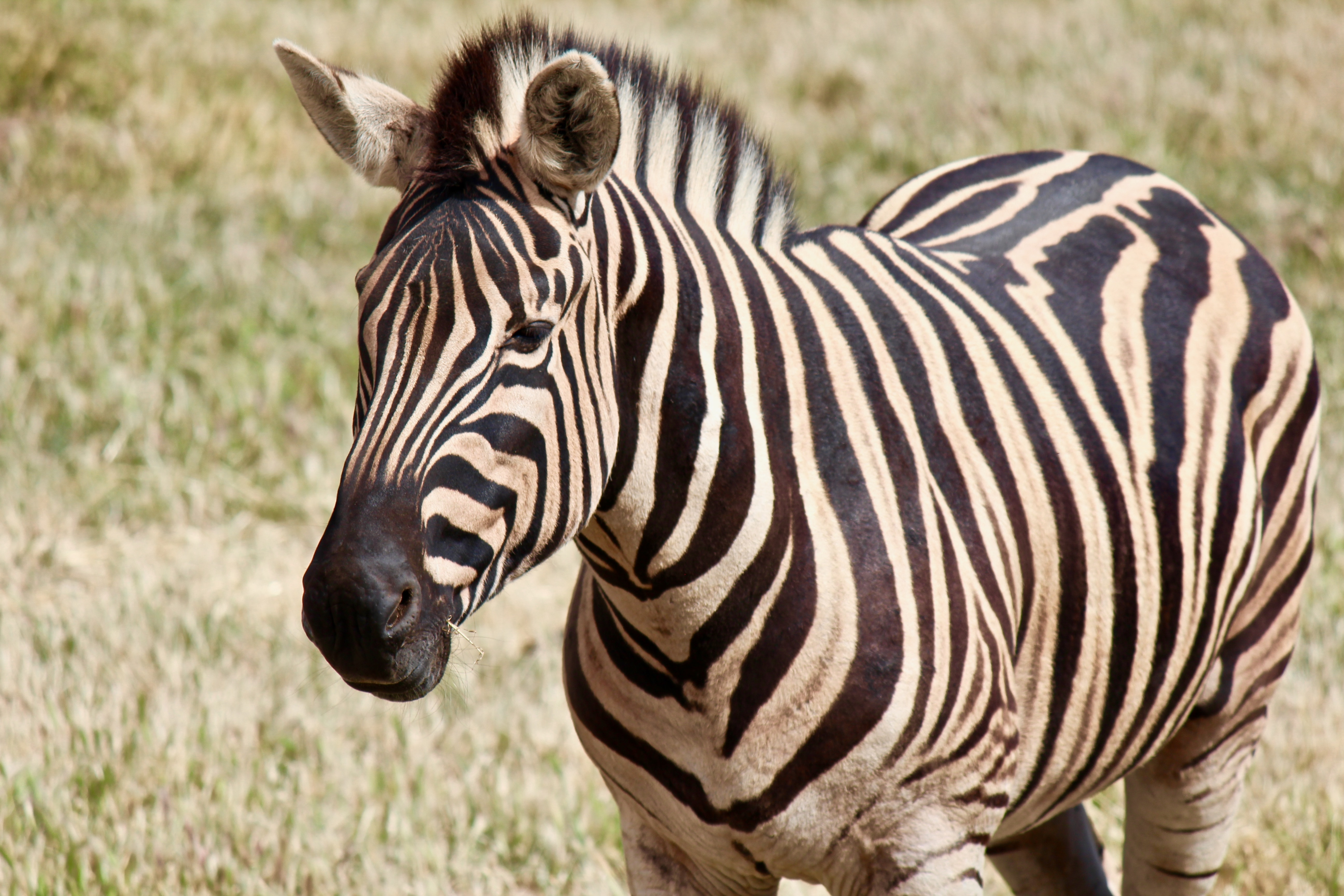 An image of a zebra