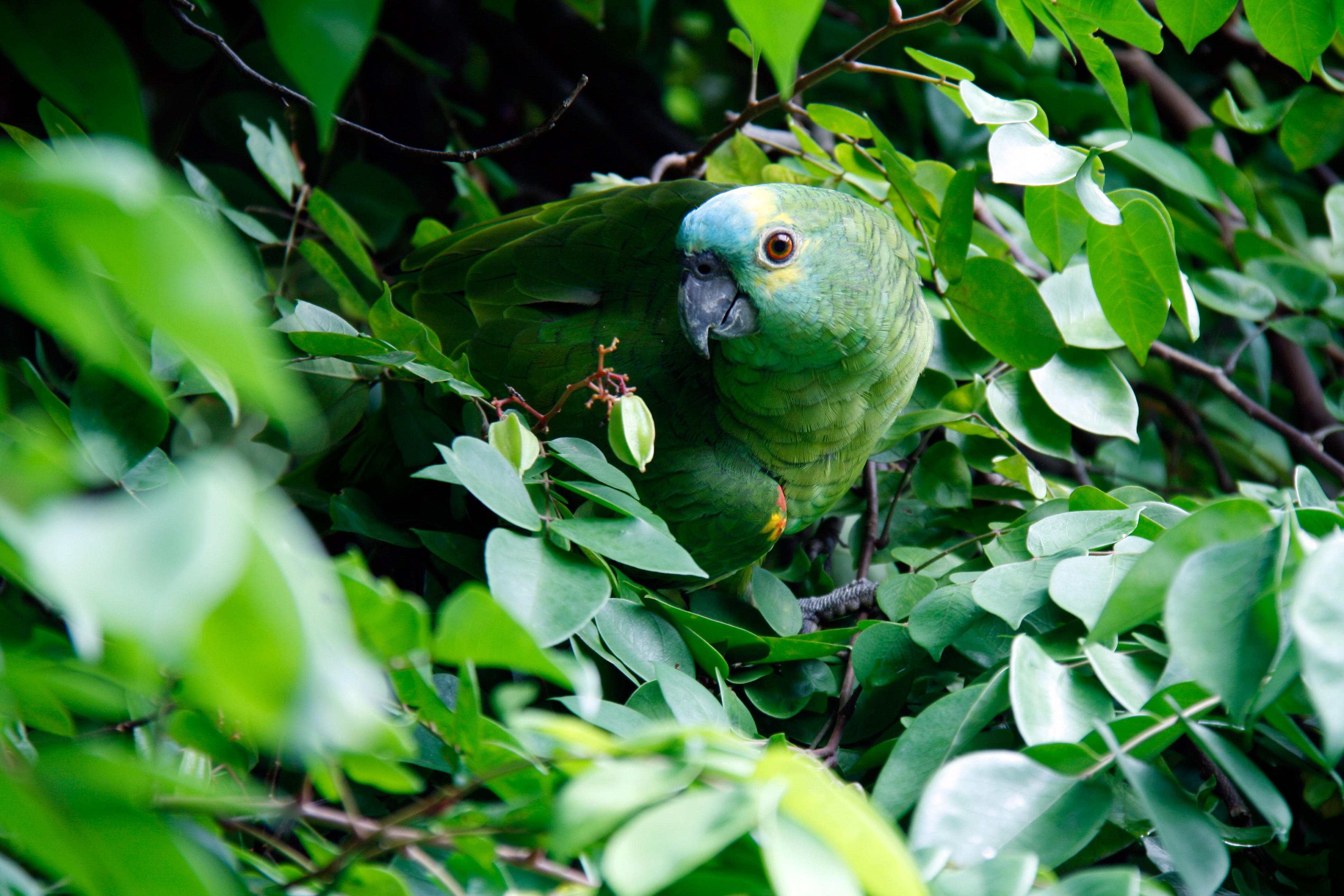 Image of a green bird in Brazil