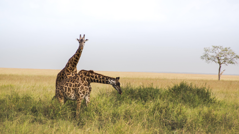 An image of giraffes